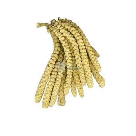 Panizo espiga amarillo