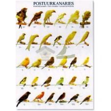 Canarios de Postura