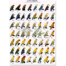 Inseparables I - Agapornis (Lovebirds)