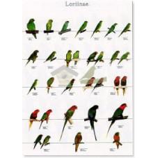 Loritos 3